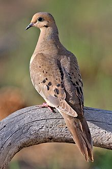 220px-Mourning_Dove_2006